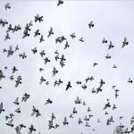 pigeon600